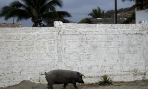 la ballade du cochon